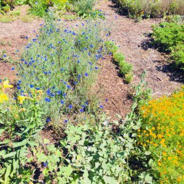 Nouvelles du jardin de plantes aromatiques et médicinales